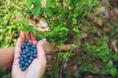 Annalkande blåbär i skogen arkivfoto