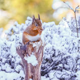 Annalkande mat för röd ekorre i vinter Royaltyfria Bilder