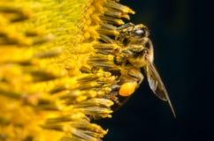 Annalkande nektar för arbetarbi från solrosor Arkivfoto