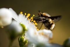 Annalkande nektar för kryp från en blomma på våren fotografering för bildbyråer