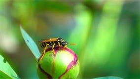 Annalkande Pollen för bi close upp lager videofilmer