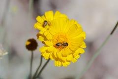 Annalkande pollen för bi från den gula blomman i öknen 2nd på andra blomma i bakgrund arkivbild
