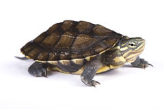 Annam leaf turtle,Mauremys annamensis Royalty Free Stock Image