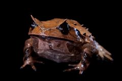 Annam spadefoot toad on black Royalty Free Stock Photos
