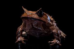 Annam spadefoot toad on black Royalty Free Stock Photography