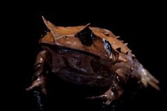 Annam spadefoot toad on black Stock Photo