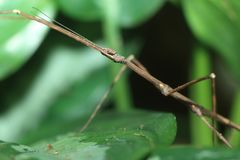 Annam walking stick Royalty Free Stock Image