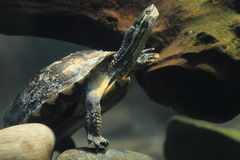 Annambladsköldpadda Arkivfoto