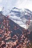 Annapurna ΙΙ 2 με το ανθίζοντας δέντρο βερικοκιών Στοκ Εικόνες