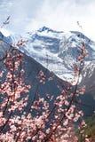 Annapurna ΙΙ 2 με το ανθίζοντας δέντρο βερικοκιών Στοκ εικόνα με δικαίωμα ελεύθερης χρήσης