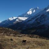 Annapurna δύο και βοσκή yaks Στοκ φωτογραφίες με δικαίωμα ελεύθερης χρήσης