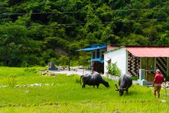 Herd of water buffalos in rural village, Annapurna Conservation Area, Nepal. Annapurna Conservation Area, Nepal - July 18, 2018 : Herd of water buffalos in rural royalty free stock photography
