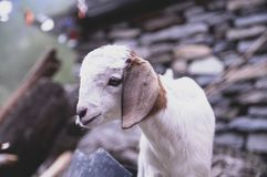 A goat on the way royalty free stock photo