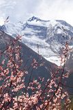 Annapurna II 2 with flowering apricot tree Stock Photo