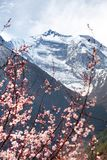 Annapurna II 2 with flowering apricot tree Royalty Free Stock Image