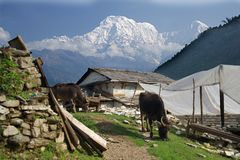 Annapurna South and Hiunchuli with Water Buffalo royalty free stock image