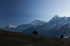 Annapurna South with Yak. Annapurna South mountain with female yak feeding at sunrise. The Nepalese people told us only the male was a yak, and the female was a royalty free stock photo