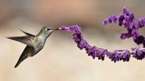 Annas蜂鸟哺养 免版税库存照片