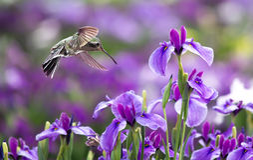 Annas蜂鸟在飞行中与紫色虹膜花 免版税库存照片