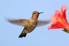 Annas蜂鸟(Calypte安娜) 免版税库存图片