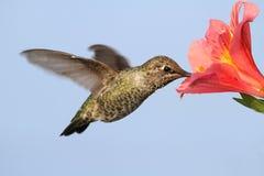 Annas蜂鸟(Calypte安娜) 库存图片