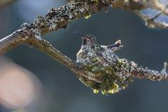 Annas Hummingbird breeding. Anna`s Hummingbird nest breeding at Delta BC Canada Stock Image