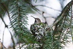 Annas Hummingbird bygga bo Arkivbilder