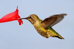 Annas Hummingbird (Calypte anna) Royalty Free Stock Photos