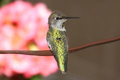 Annas Hummingbird (Calypte anna) Royalty Free Stock Images