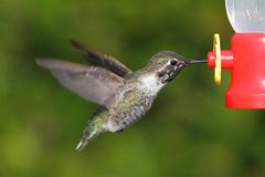 Annas Hummingbird (Calypte anna) Stock Photos