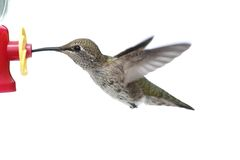 Annas Hummingbird (Calypte anna) Stock Photography