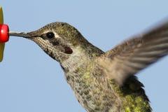 Annas Hummingbird (Calypte anna) Royalty Free Stock Photography