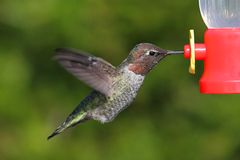 Annas Hummingbird (Calypte anna) Royalty Free Stock Photography