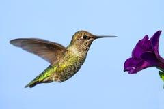 Annas Hummingbird (Calypte anna) Royalty Free Stock Images