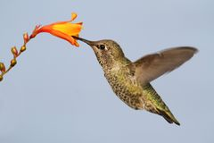 Annas Hummingbird (Calypte anna) Stock Images