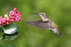 Annas Hummingbird (Calypte anna) Royalty Free Stock Photos