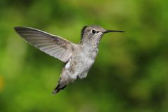 Annas Hummingbird (Calypte anna) Stock Photo
