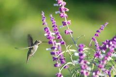 Annas Hummingbird (Calypte Anna) Stock Photo