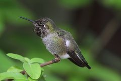 Annas Hummingbird (Calypte anna) Royalty Free Stock Photo