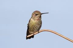 Annas Hummingbird (Calypte anna) Royalty Free Stock Image