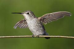 Annas Hummingbird (Calypte anna) on a wire Royalty Free Stock Images