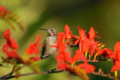 Annas Hummingbird Feeding on Crocosmia flowers Stock Photography
