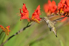 Annas Hummingbird Feeding on Crocosmia flowers Stock Photos
