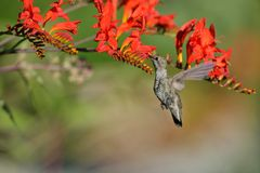Annas Hummingbird Feeding on Crocosmia flowers Stock Photo