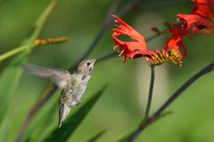 Annas Hummingbird Feeding on Crocosmia flowers Royalty Free Stock Image
