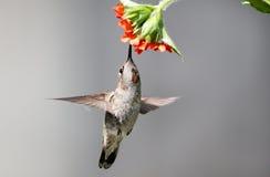 Annas Hummingbird Feeding on Flowers. An Annas Hummingbird Feeding on Maltese Crosss Flowers Stock Photography