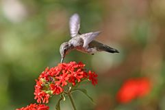 Annas Hummingbird feeding on Maltese Cross flowers. Annas Hummingbird in flight, feeding on Maltese Cross flowers. Canada Royalty Free Stock Image