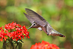 Annas Hummingbird feeding on Maltese Cross flowers. A single female Annas Hummingbird feeding on Maltese Cross flowers Stock Photography