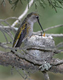 Annas hummingbird female feeding infant baby in nest, pismo beac Stock Image