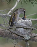 Annas hummingbird female feeding infant baby in nest, pismo beac Stock Images